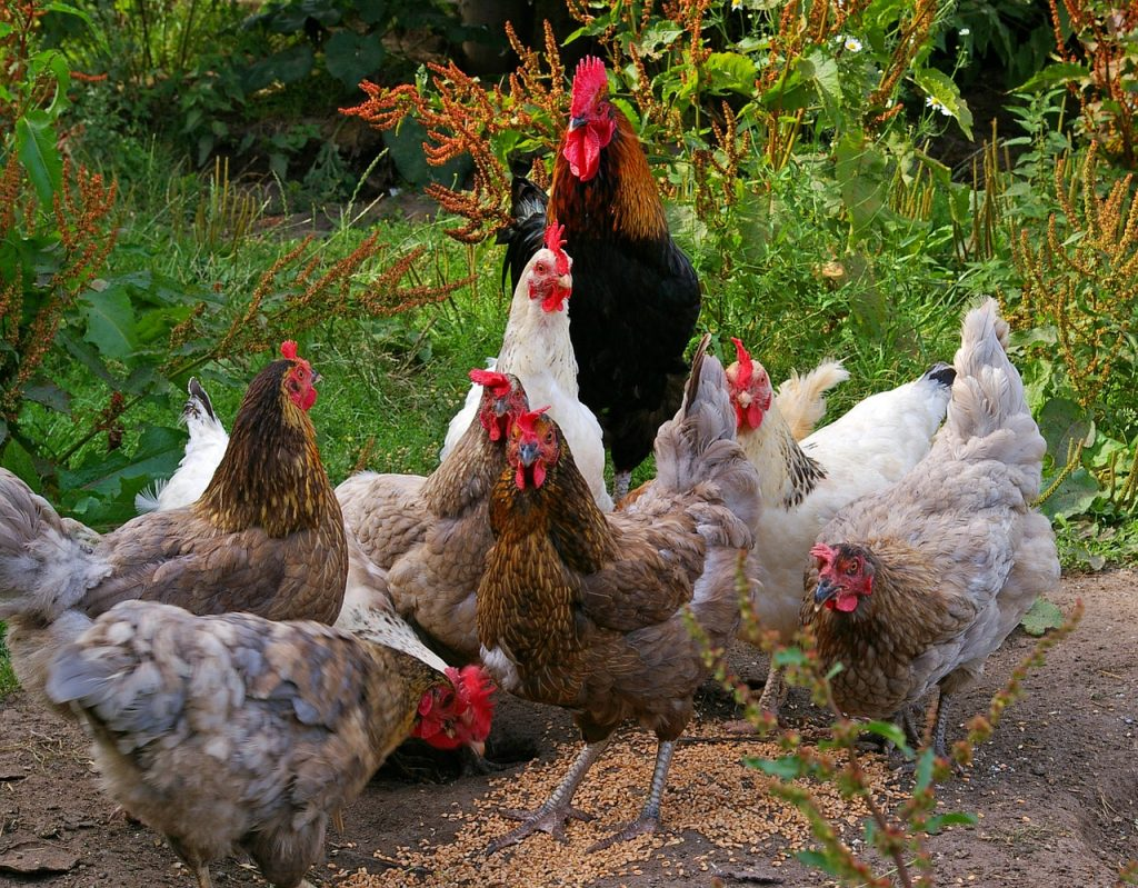 chickens eating feed