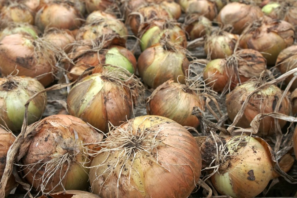 onions in root cellar