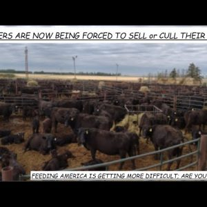 NATIONAL EMERGENCY IN THE MAKING AS RANCHERS HAVE TO SELL OR CULL THEIR CATTLE AT BREAK NECK SPEEDS